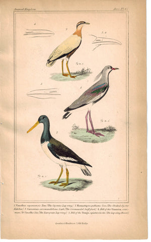 Birds Cayenne Lapwing Cloaked Oystercatcher & Coromandel Swift-foot Cuvier Print