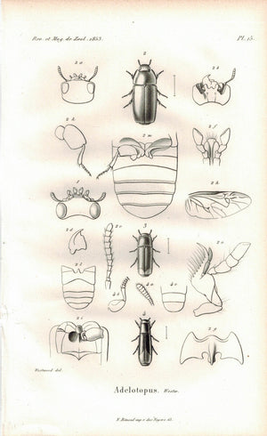 Adelotopus Beetle Insect 1853 Antique Entomology Print