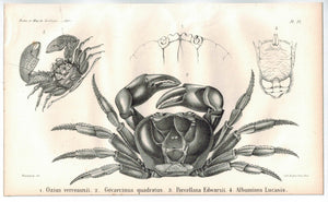 Halloween Crab 1853 Antique Zoology Print