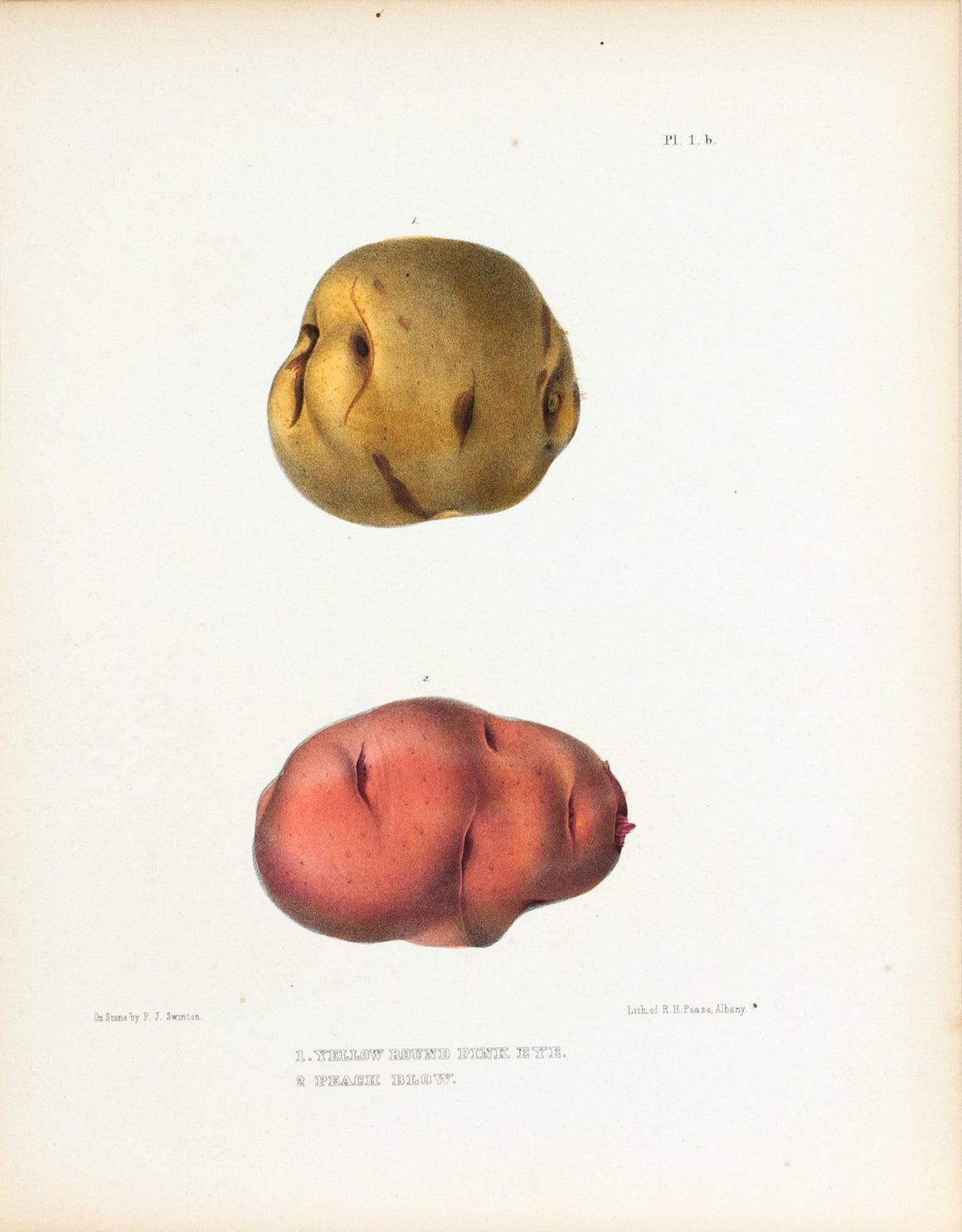 1849 Pl 1 b. Yellow Round Pink Eye, Peach Blow - Emmons