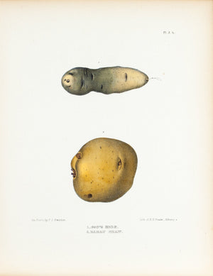 1849 Pl 3 b. Cow's Horn, Early Shaw - Emmons