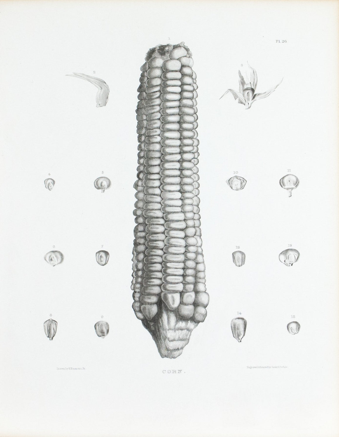 1849 Pl 26 Varieties of Maize - Emmons