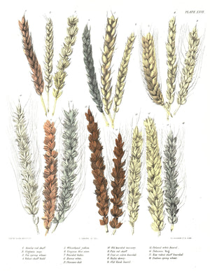 1849 Pl 27 18 Strains of Wheat - Emmons