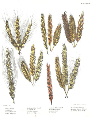 1849 Pl 28 15 Strains of Wheat - Emmons