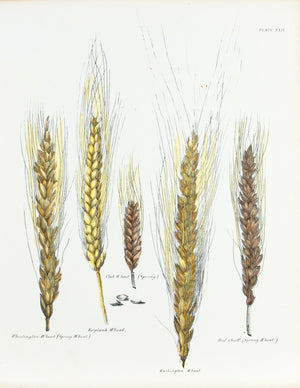1849 Pl 29 Varieties of Wheat - Emmons