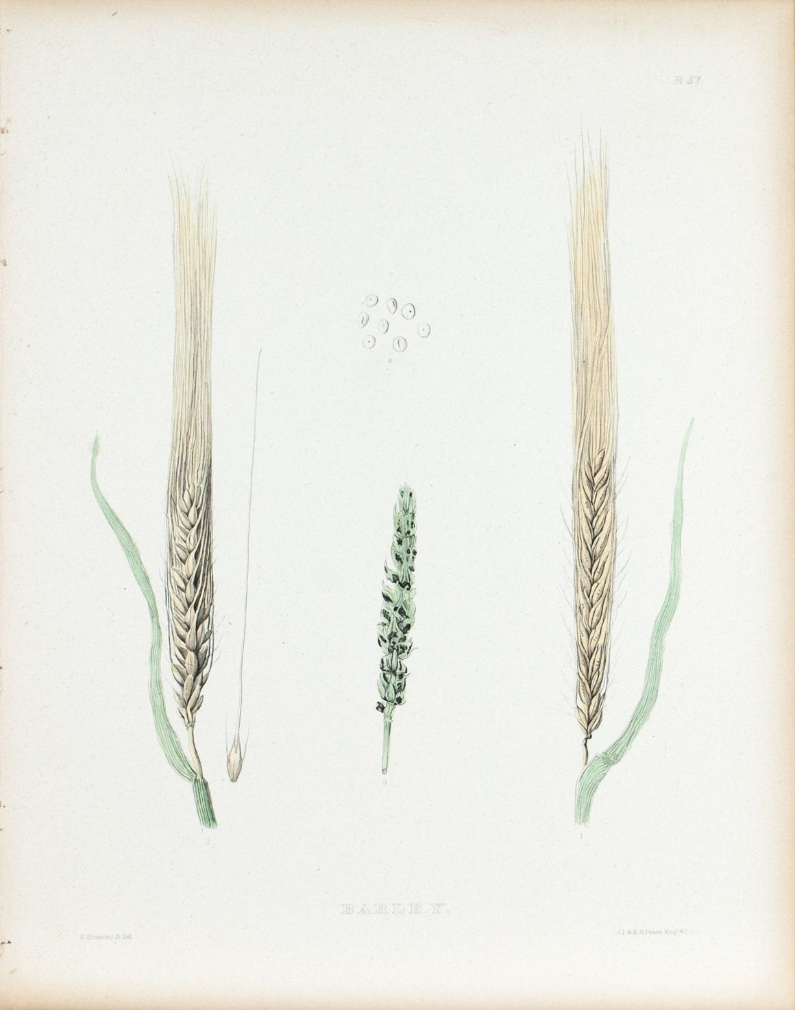 1849 Pl 57 Varieties of Barley - Emmons