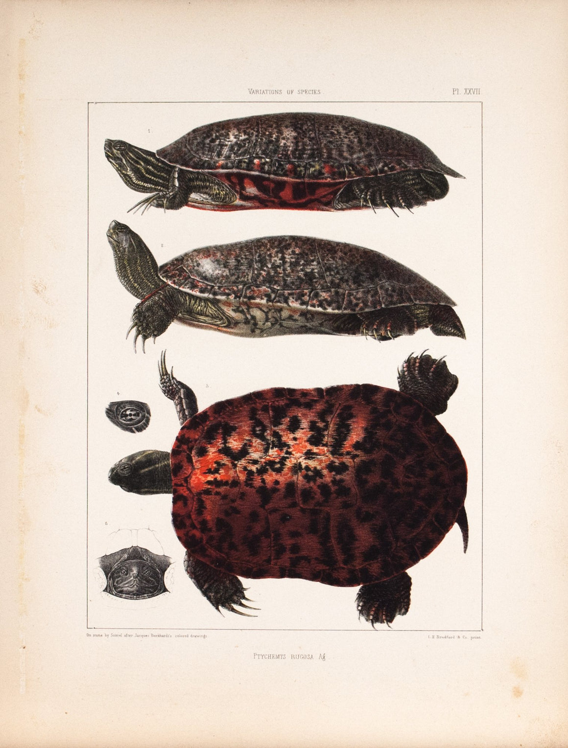 Red-bellied Turtle Embryology of Turtles 1857 Antique Color Zoology Print B