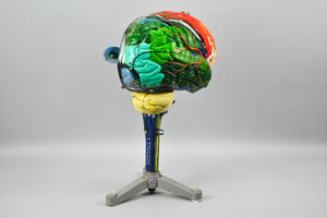 Clay Adams Human Brain Medical Training Model 1962