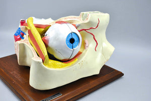 Vintage Bobbitt Laboratories Human Eye Medical Training Model