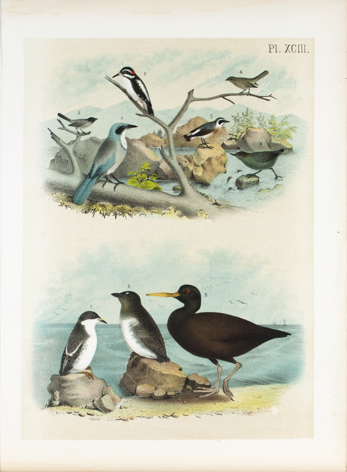 Woodpecker American Dipper Antique Chromolithograph Bird Print 1881