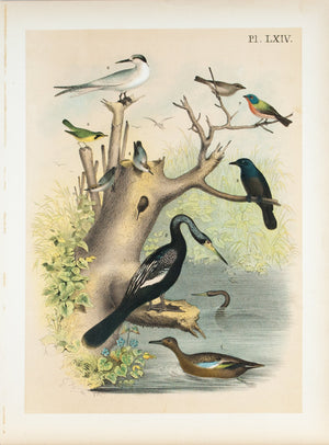 Anhinga Snakebird Water Turkey Antique Bird Print 1881