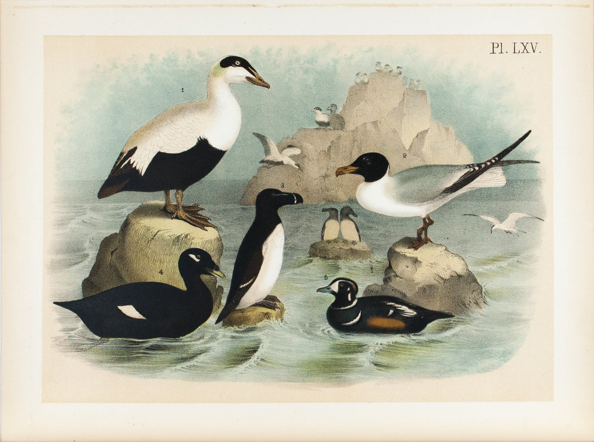 Velvet  Harlequin Eider Duck Laughing Gull  Antique Bird Print 1881