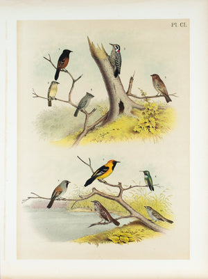 Woodpecker Titmouse Sparrow  Antique Bird Print 1881
