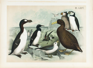 Great Auk Giant Petrel Tufted Puffins Fulmar Bird Print 1881