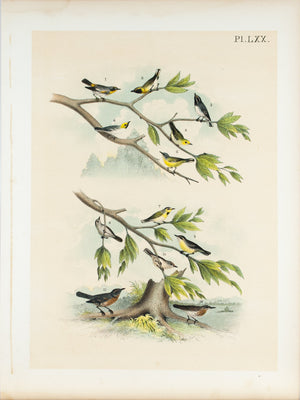 Warbler Robin Thrush Antique Bird Print 1881