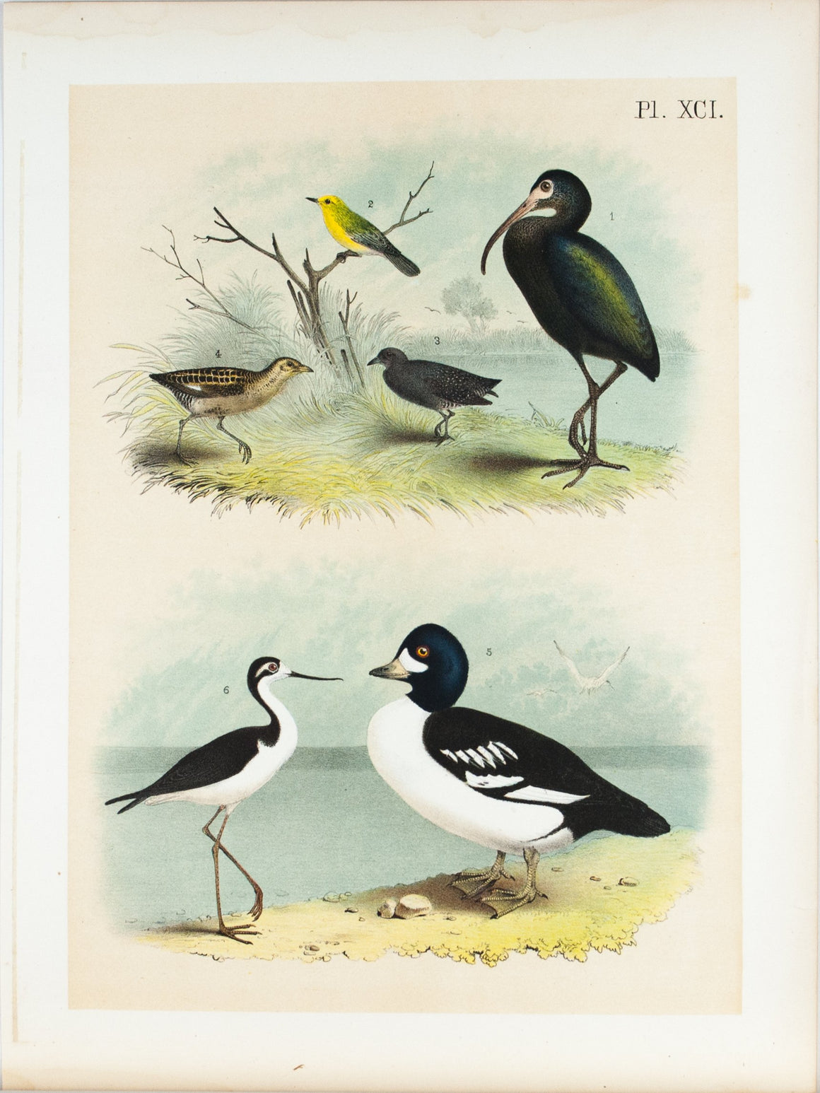 Bay Ibis Warbler Rail Antique Bird Print 1881