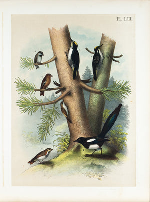 American Magpie Woodpecker Titmouse Bird Print 1881