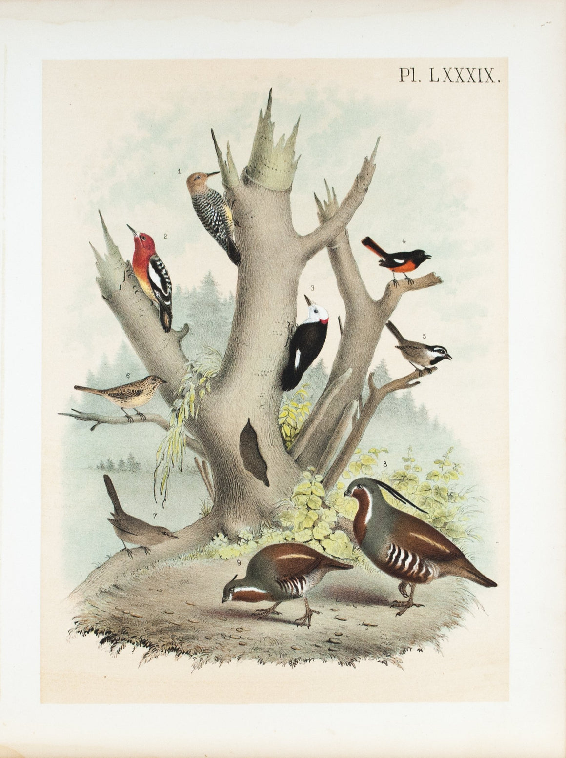 Woodpecker Titmouse Antique Spotted Sparrow Mountain Quail Bird Print 1881