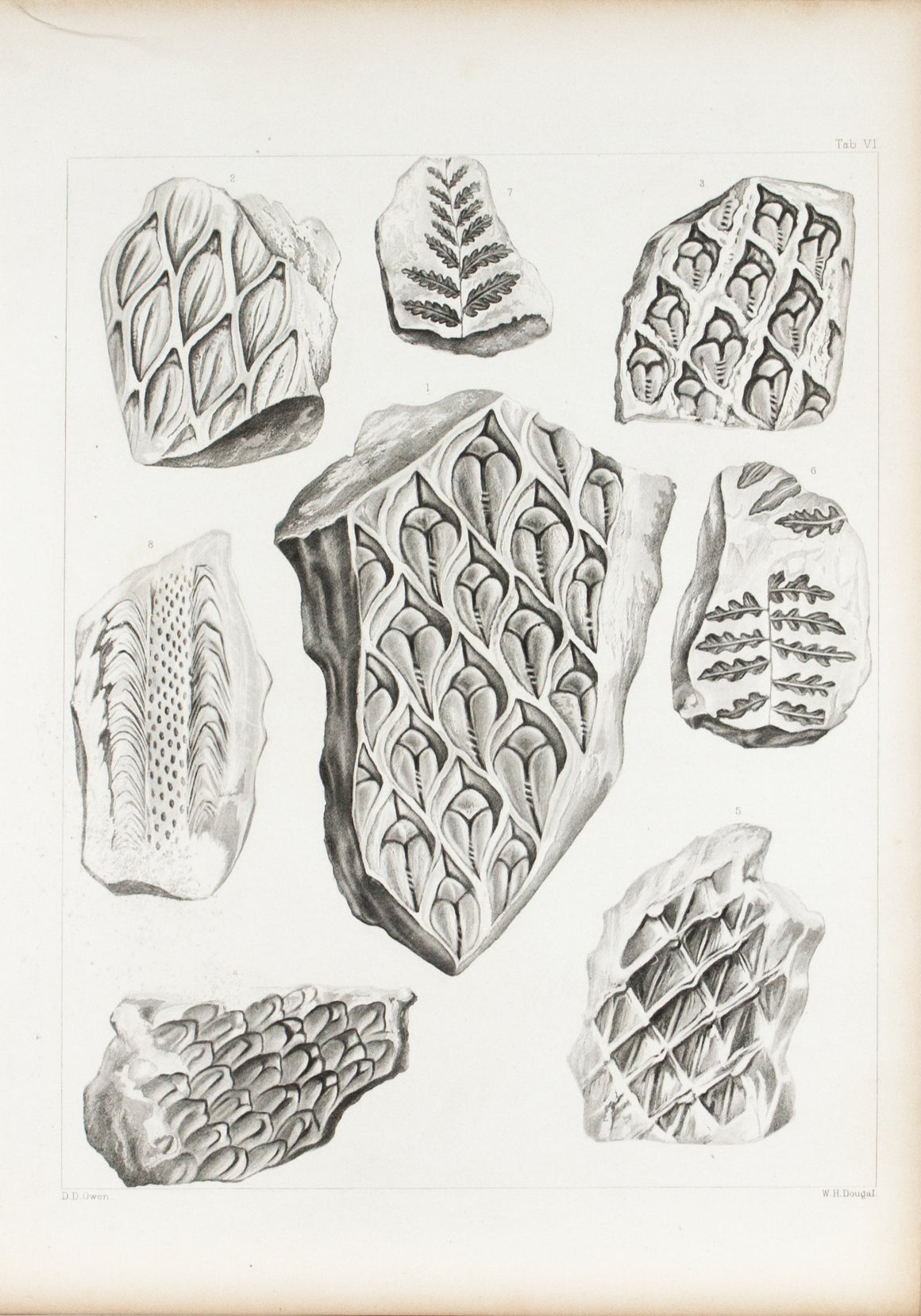 Ferns Sandstones Limestones Iowa Antique Fossil Print 1852