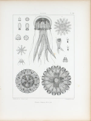 Pelagia Cyanella Cross Section Jellyfish Antique 1860 Print Plate XII