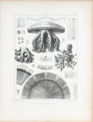 Polyclonia Frondosa Cross Section Jellyfish Antique 1860 Print Plate XIII a
