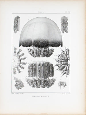 Stomolophus Meleagris Cross Section Jellyfish Antique 1860 Print Plate XIV
