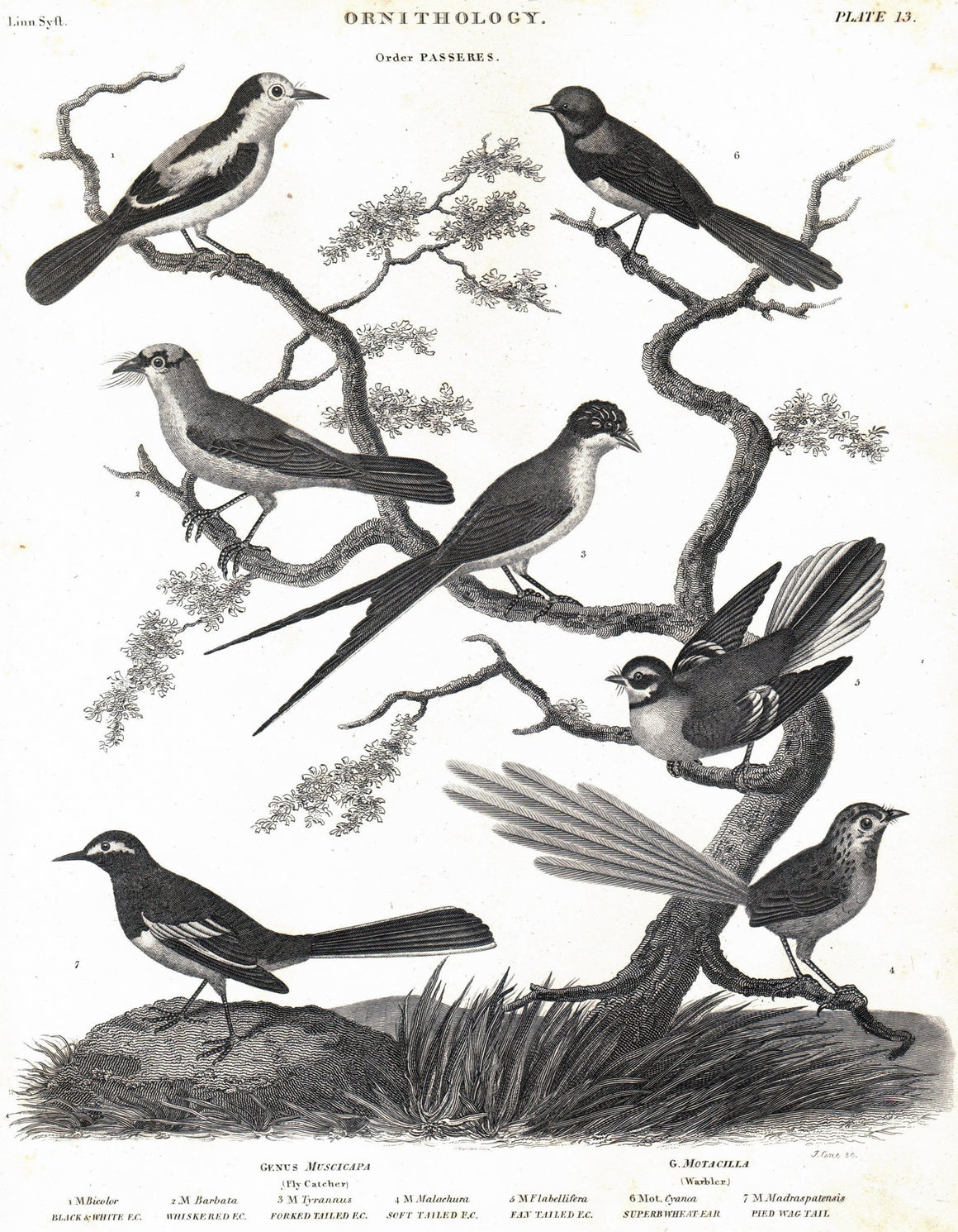1834 Ornithology Plate 13