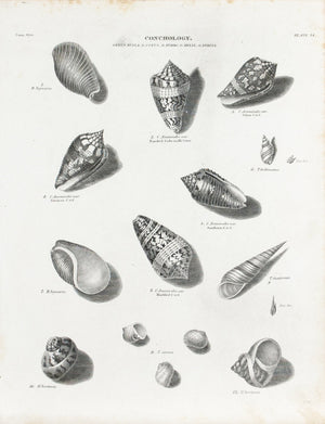 1834 Conchology Plate 14