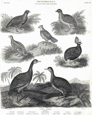 1834 Ornithology Plate 23