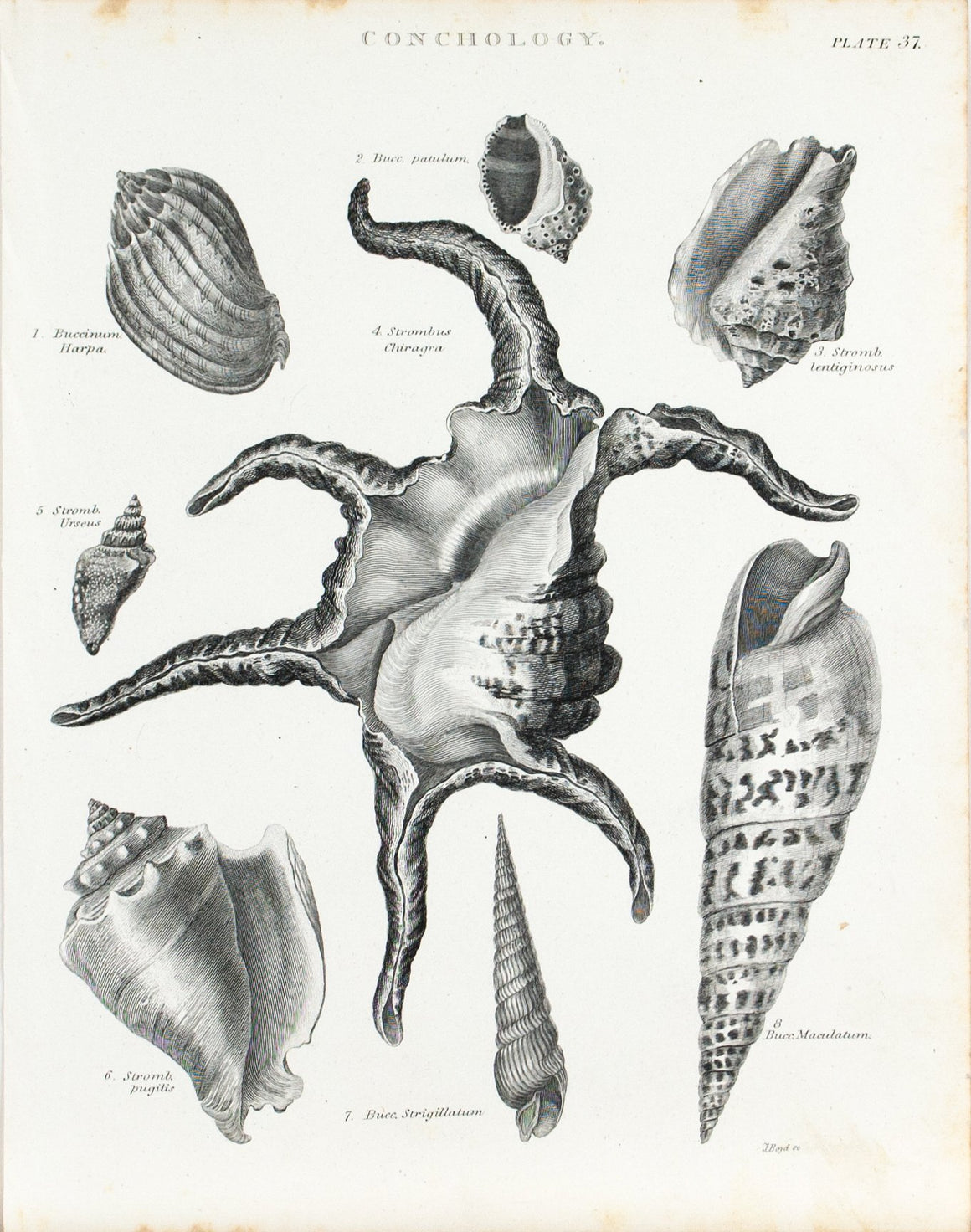 Sea Shells Antique Conchology Print 1834 C