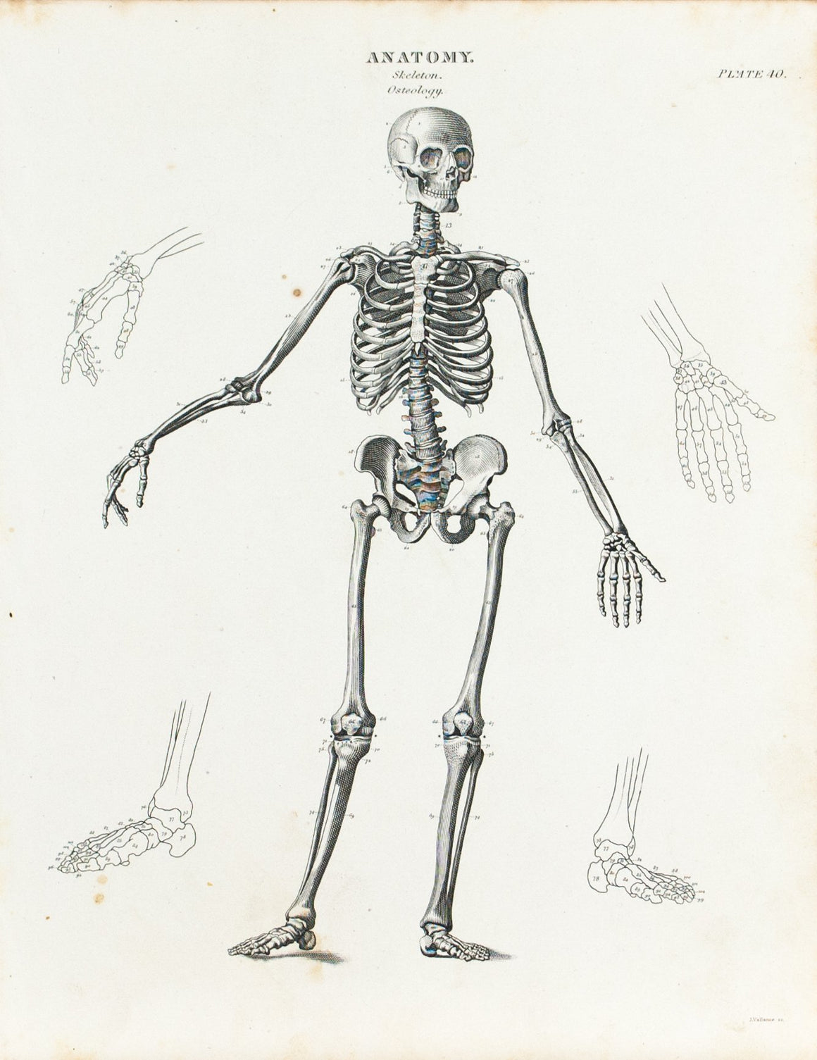 Human Skeleton Osteology Antique Anatomy Print 1834