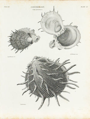 Sea Shells Indian Seas Antique Conchology Print 1834