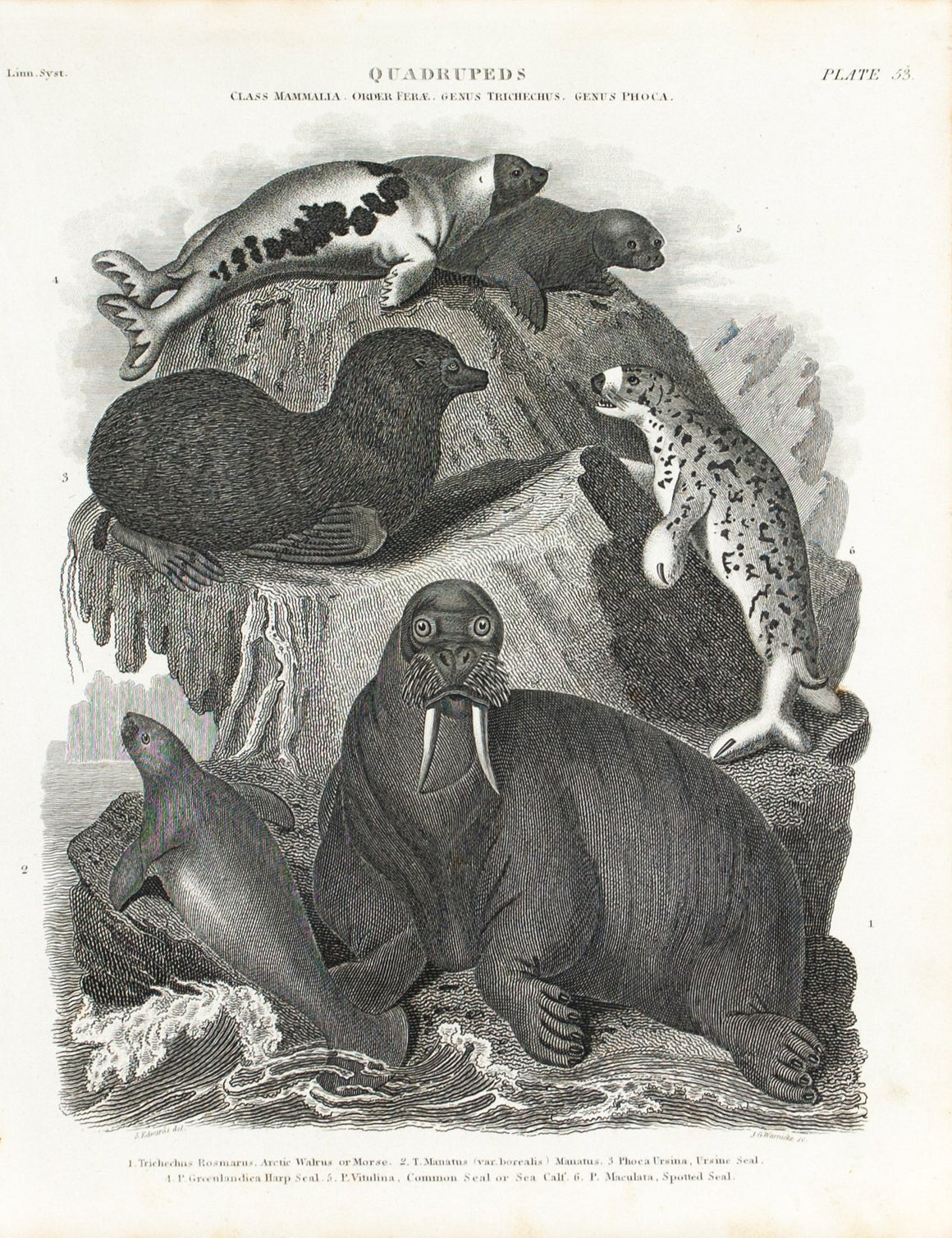 Arctic Walrus Harp Seal Antique Animal Print 1834
