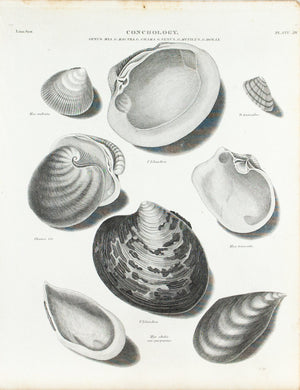 Sea Shells Antique Conchology Print 1834 D