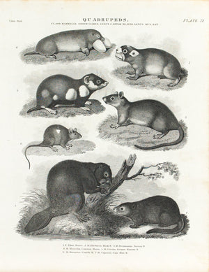 Beaver Rat Mouse Mole Antique Animal Print 1834