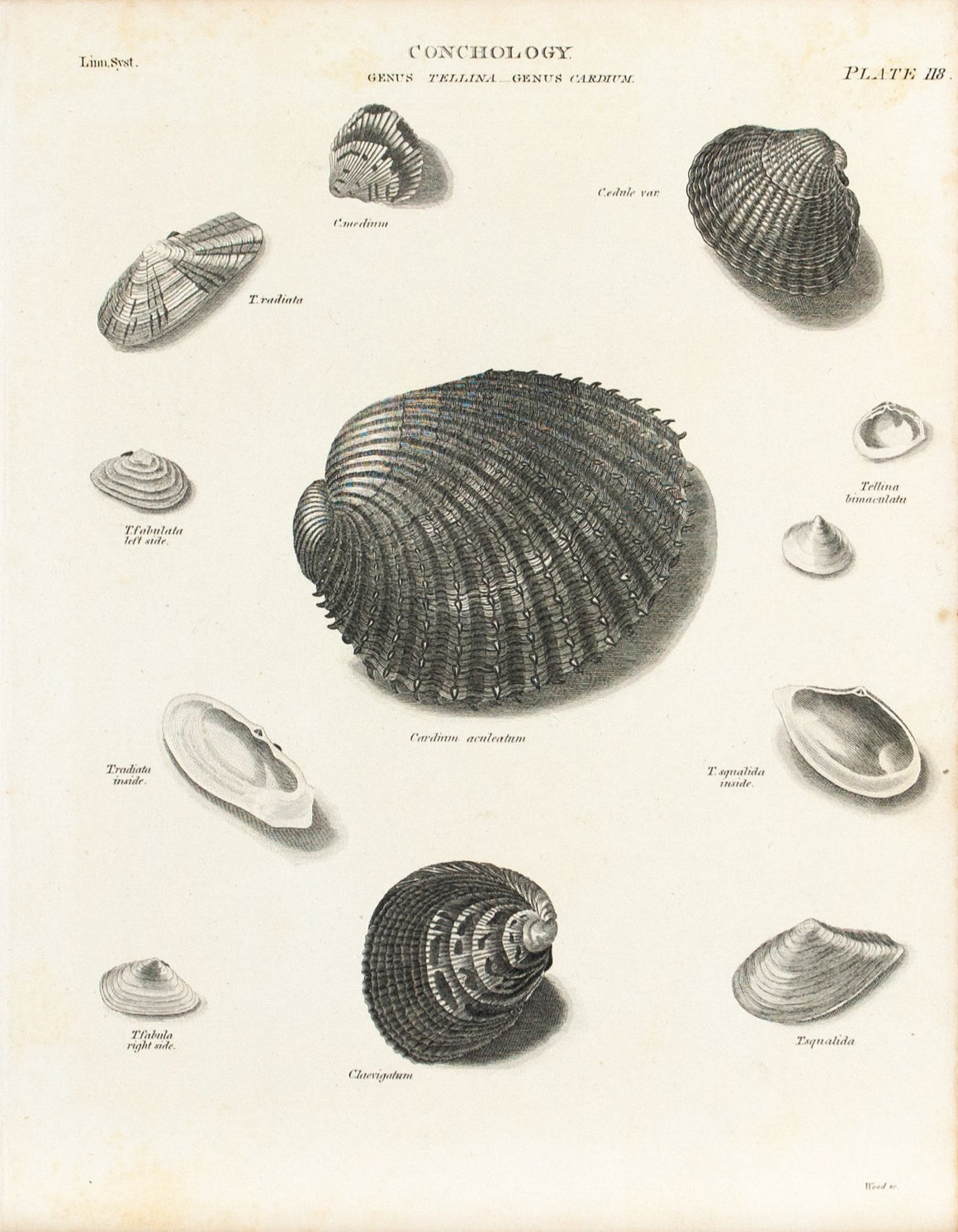 Tellina Cardium Sea Shell Antique Conchology Print 1834