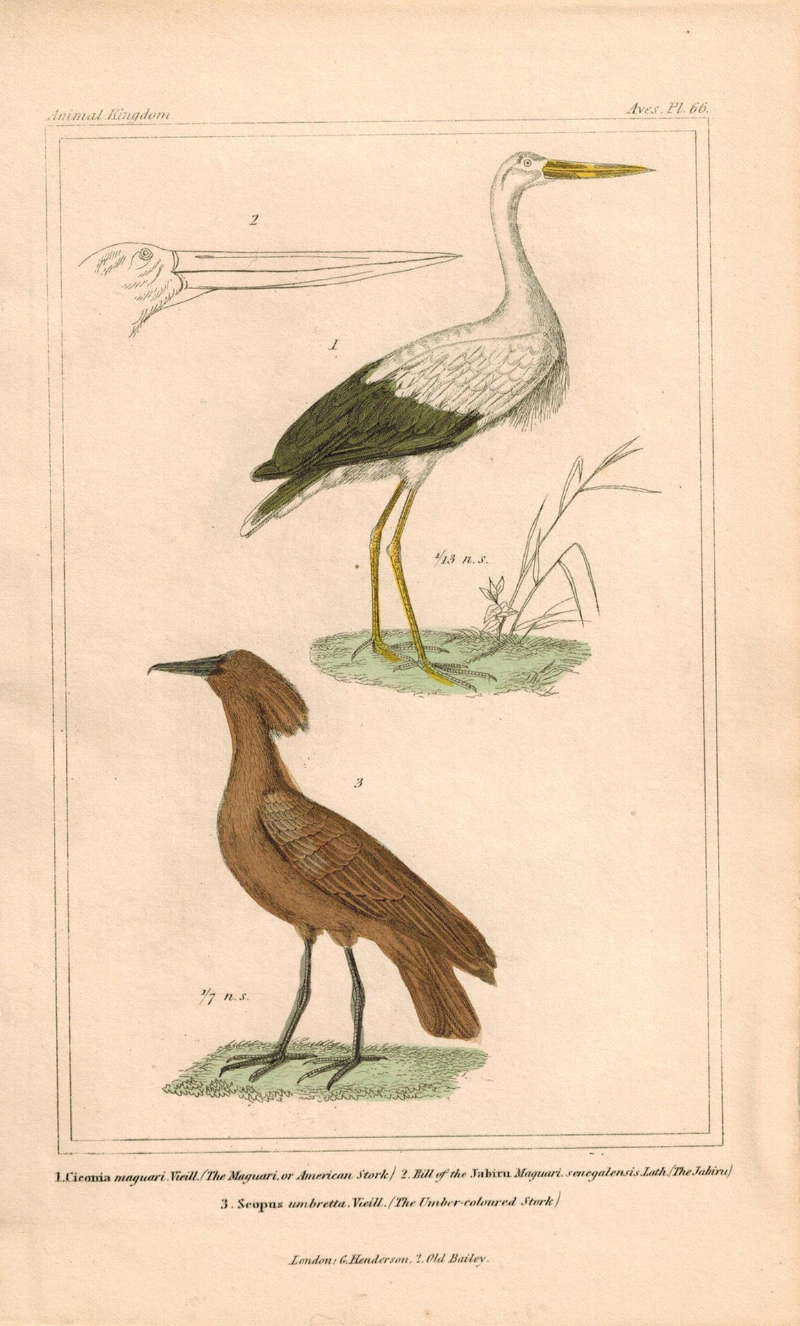 American Stork Antique Hand Color Cuvier Bird Print 1837