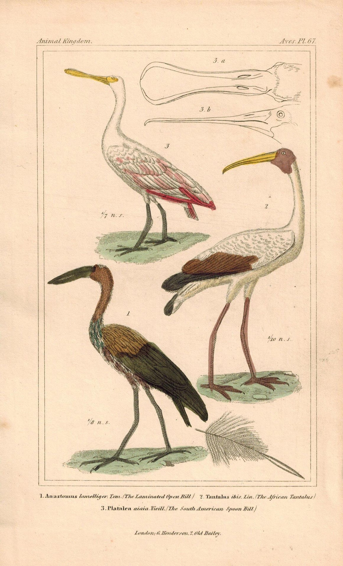 African Tantalus Spoon Bill Antique Hand Color Cuvier Bird Print 1837