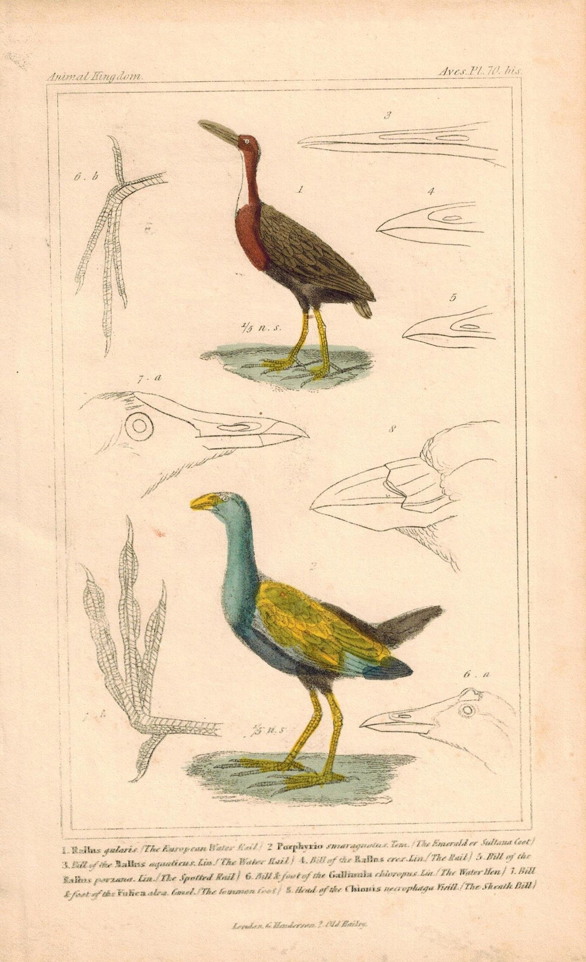 Water Rail Emerald Coot Antique Hand Color Cuvier Bird Print 1837