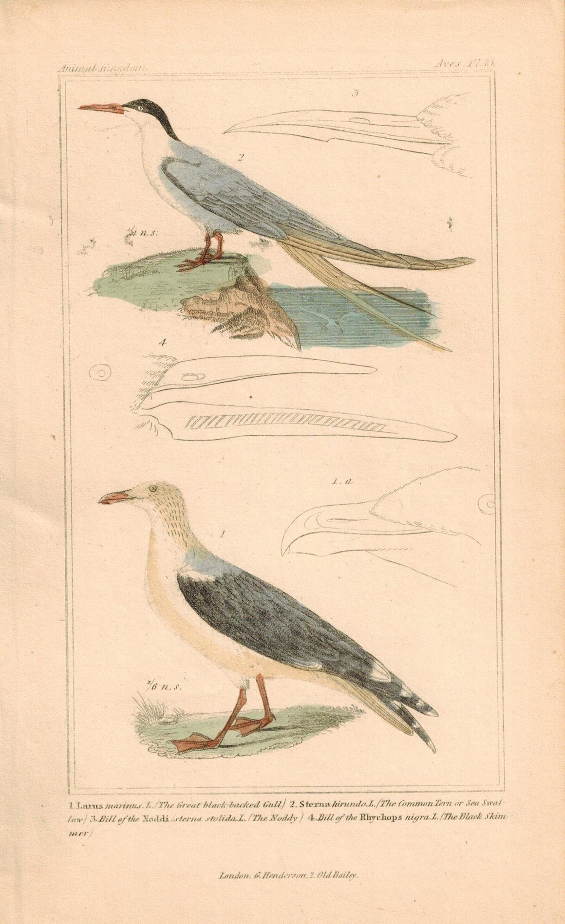 Black-backed Gull Noddy Antique Hand Color Cuvier Bird Print 1837
