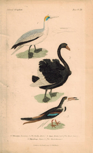 Adult Booby Black Swan Skimmer Antique Hand Color Cuvier Bird Print 1837