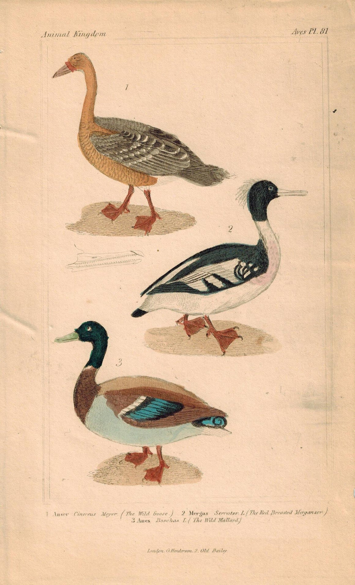 Wild Goose Merganser Mallard Antique Hand Color Cuvier Bird Print 1837