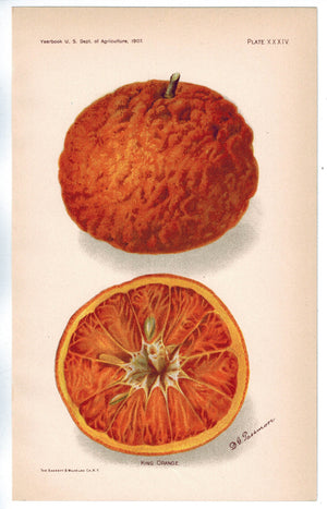 King Orange Antique Fruit Print 1907