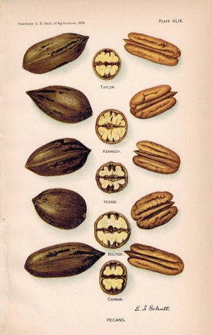 Pecans Kennedy Bolton Carman Hodge Antique Nut Print 1908