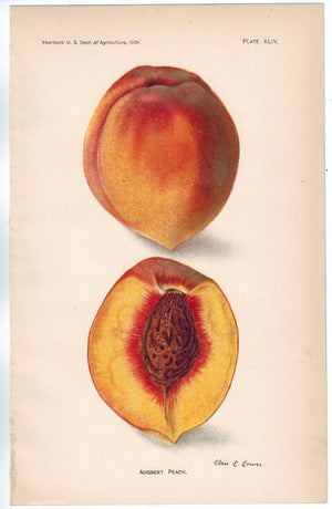 Augert Peach Antique Fruit Print 1908