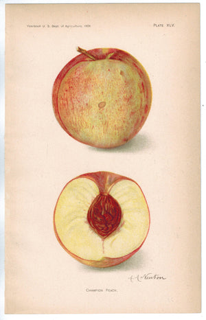 Champion Peach Antique Fruit Print 1908