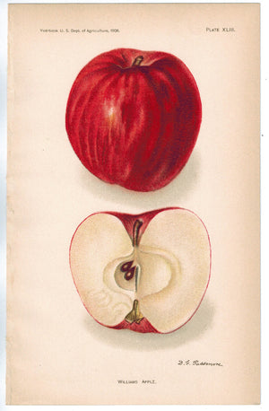 Williams Apple Antique Fruit Print 1908