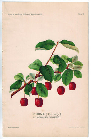 Goumi Berries Antique Fruit Print 1890