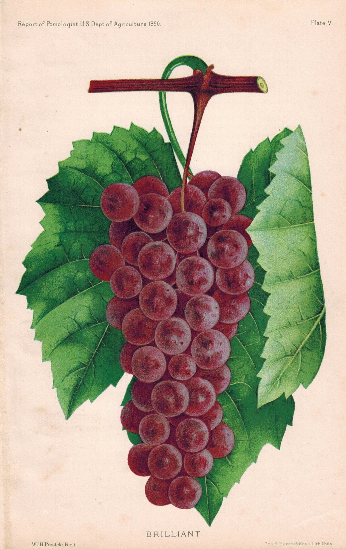 Brilliant Grapes Antique Fruit Print 1890