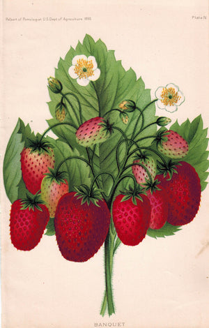 Banquet Strawberry Antique Fruit Print 1890